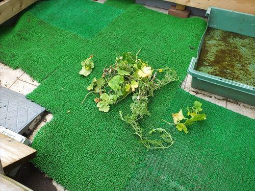 野菜育てる (19)