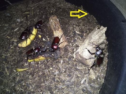 2018カブトムシ幼虫 (1)