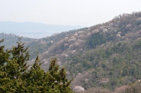 DSC_5407山桜