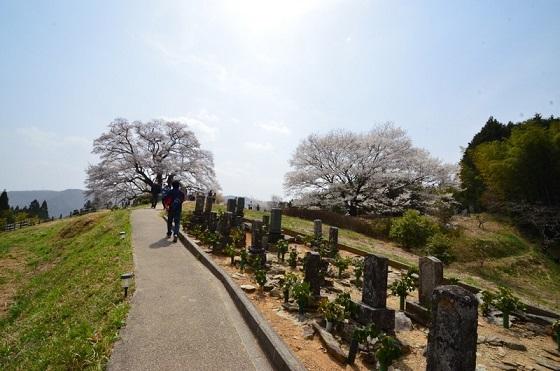 DSC_3123-醍醐桜
