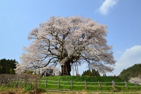 DSC_3151-醍醐桜