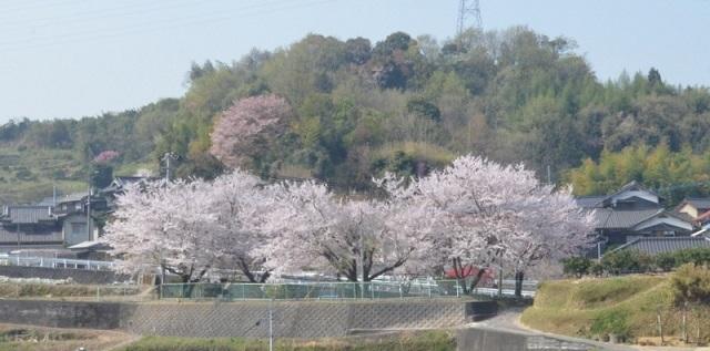 DSC_3157遊園地桜