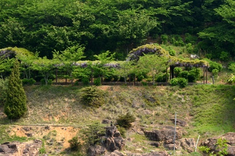 種松山藤棚