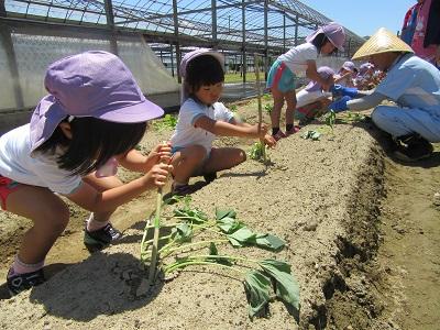 H30芋苗植えIMG_3529