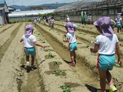 H30芋苗植えIMG_3533
