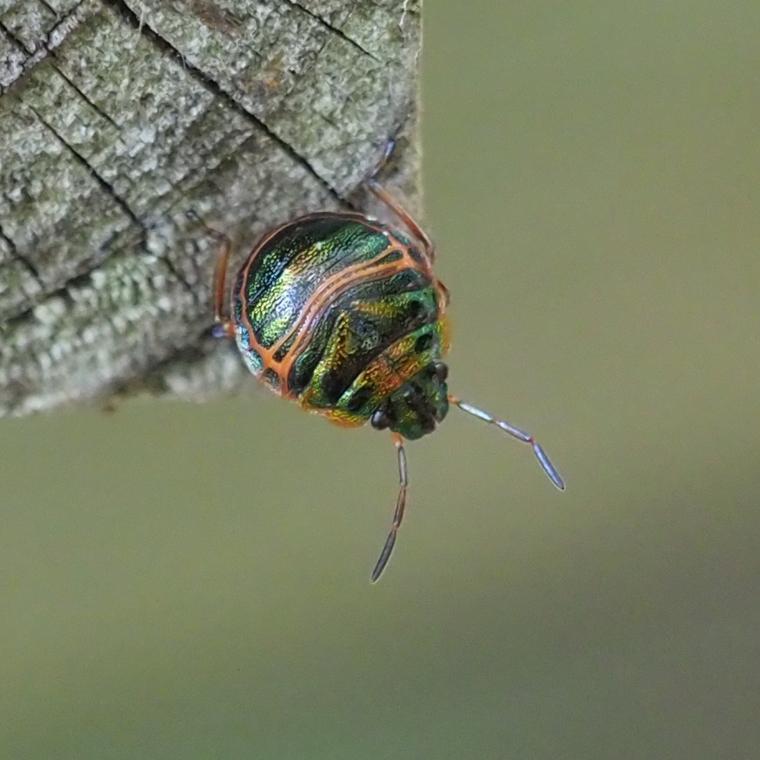 20180825_アカスジキンカメムシ幼虫