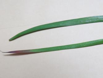 ニラの葉2種1
