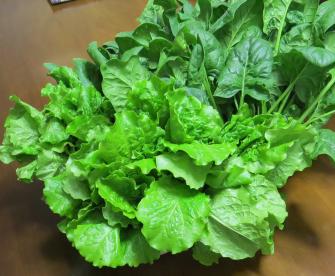 韓国レタス収穫物5月