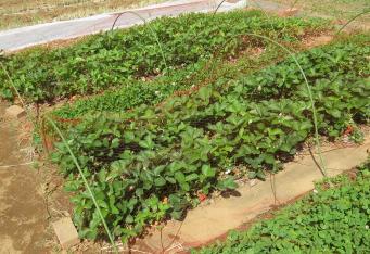 イチゴ菜園1
