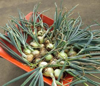 タマネギ収穫物