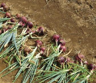 赤タマネギ収穫風景