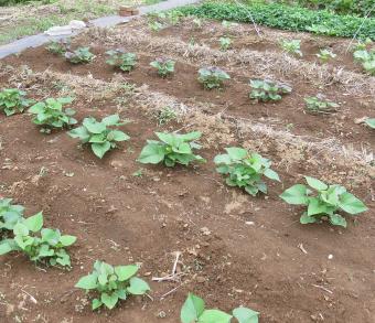 サツマイモ移植後 6月中旬 ベニハルカ(手前)と安納芋