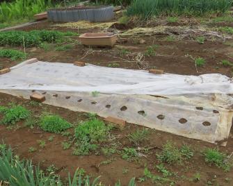 サツマイモ苗作り4月下旬発芽してきた様子