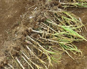 ニンニク収穫風景6月