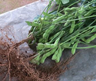エダマメ収穫物枝付き