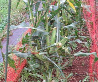 U字型支柱トウモロコシ利用防鳥ネット張り