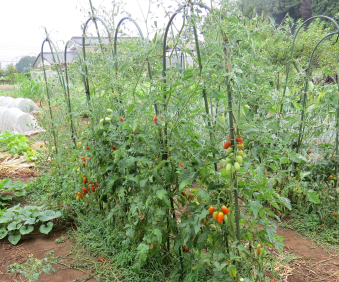 U字型支柱トマト利用全景