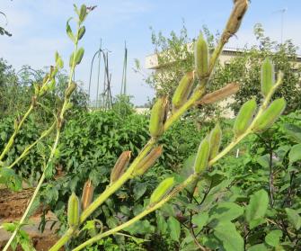 白ゴマ収穫直前の枝