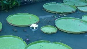 シンガポール植物園(6)20180804