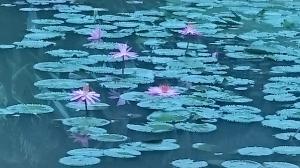 シンガポール植物園(8)20180805