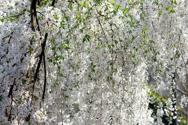 白枝垂れ 4