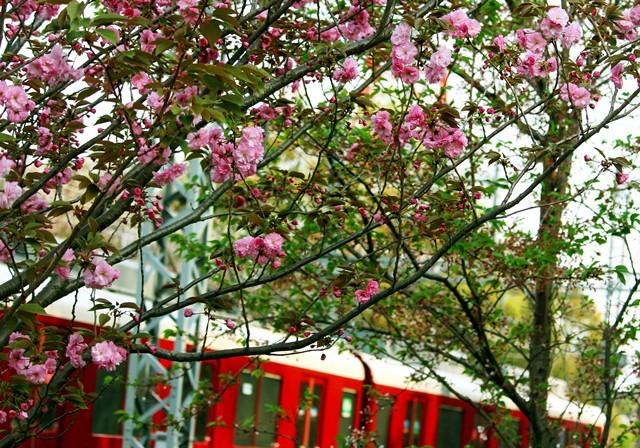 八重桜と列車2