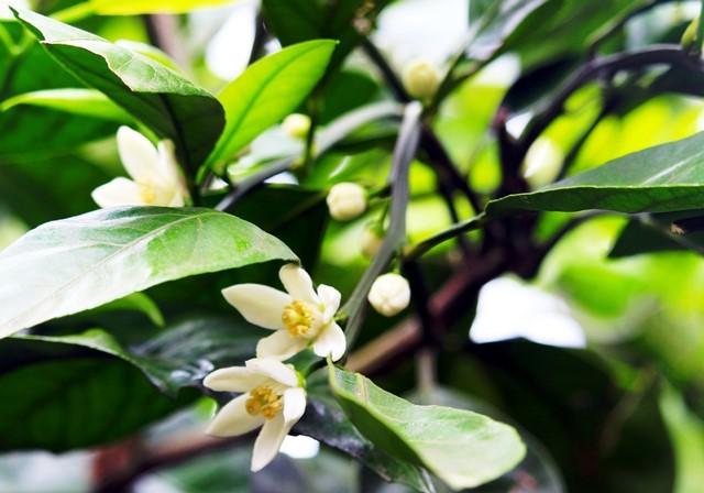 蜜柑の花2