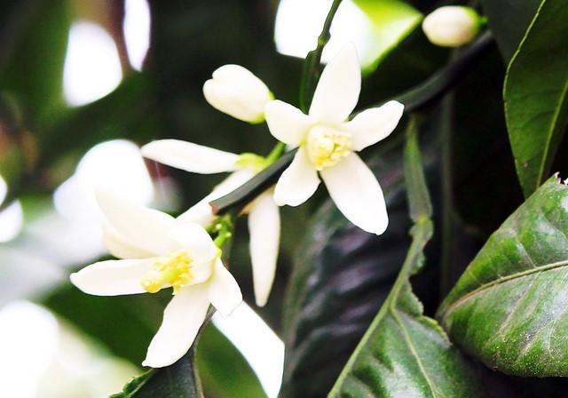 蜜柑の花4