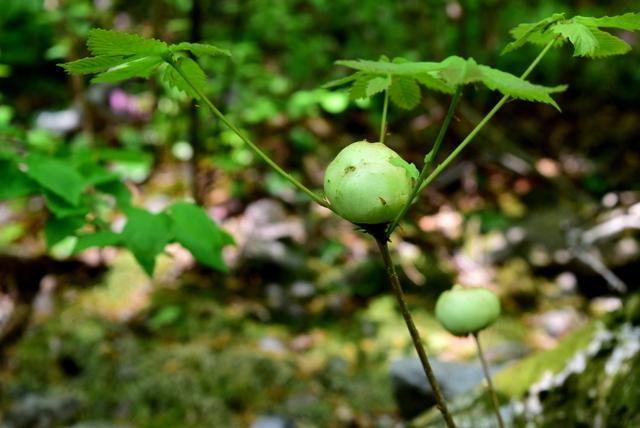 DSC_0302 ナラメリンゴフシ(ナラリンゴタマバチ)