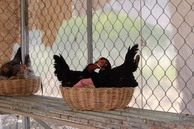 事務所で飼育している鶏