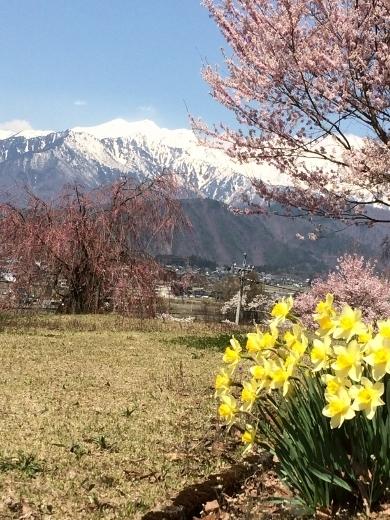 4月13日のバイクラン大町公園桜 (9) (390x520)