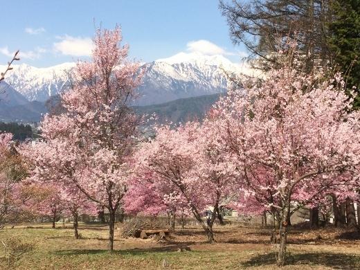 4月13日のバイクラン大町公園桜 (8) (520x390)