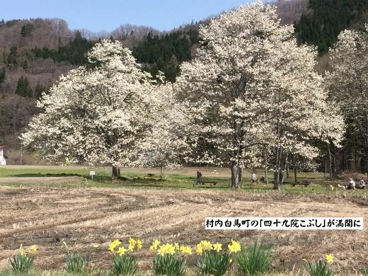 4月19日白馬村桜三昧 (1) (520x390)