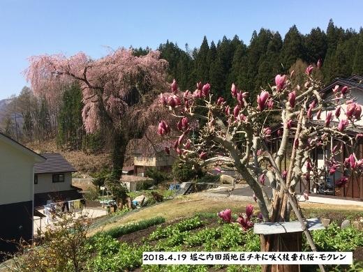 4月19日白馬村桜三昧 (3 (520x390)