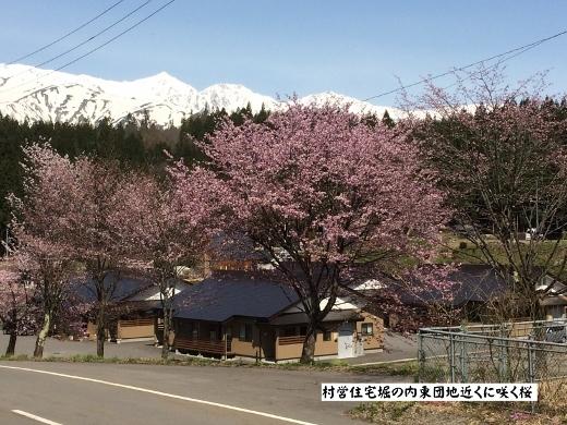 4月19日白馬村桜三昧 (5) (520x390)