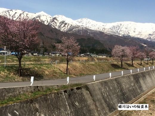 4月19日白馬村桜三昧 (6) (520x390)