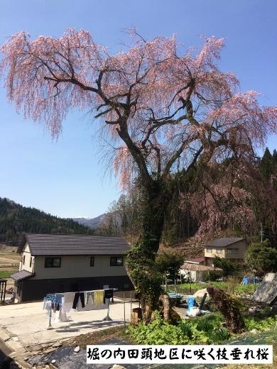 4月19日白馬村桜三昧 5 (390x520)