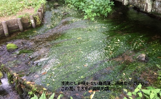 7-28姫川源流梅花藻 (16) (520x320)