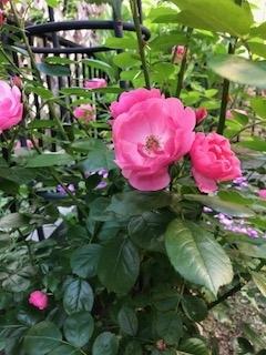 2018庭のバラ