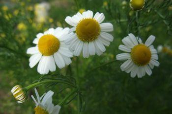 350 カモミールの花