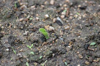 350 トウモロコシ・発芽