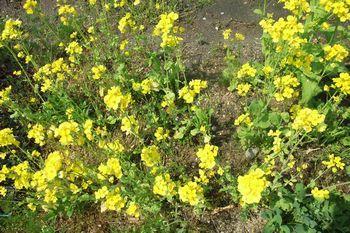 350 菜花の開花