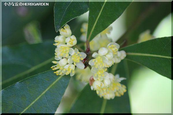 600 月桂樹の花 1
