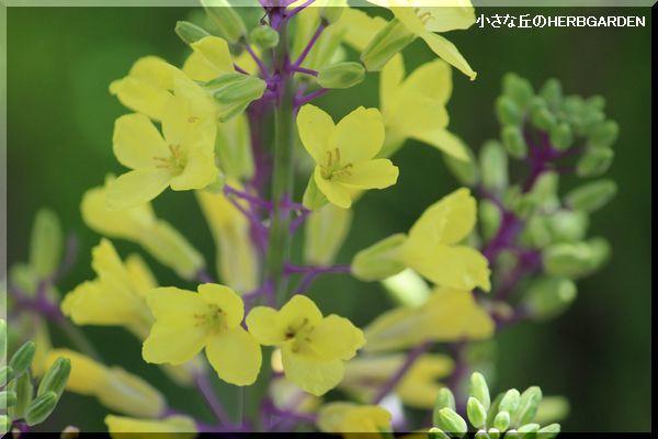 600 葉ボタンの花