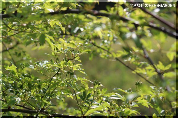 600 モッコウバラの蕾