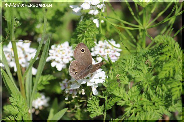 600 イベリスと蝶