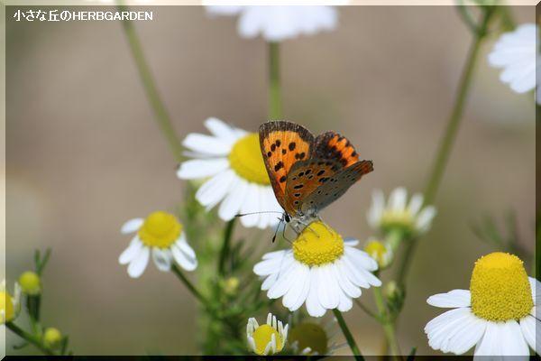 600 カモミールと蝶