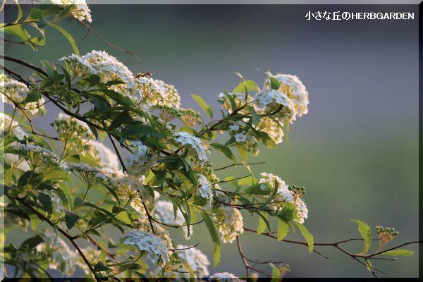 600 早々とコデマリの開花