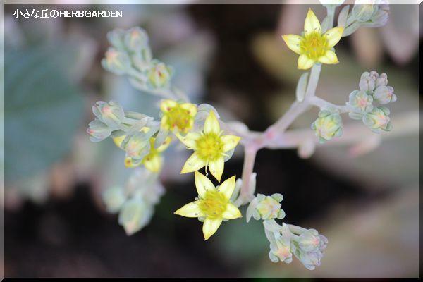 600 多肉植物のお花