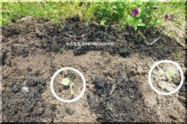 600 タケノコ芋植え替えと草木灰の漉き込み